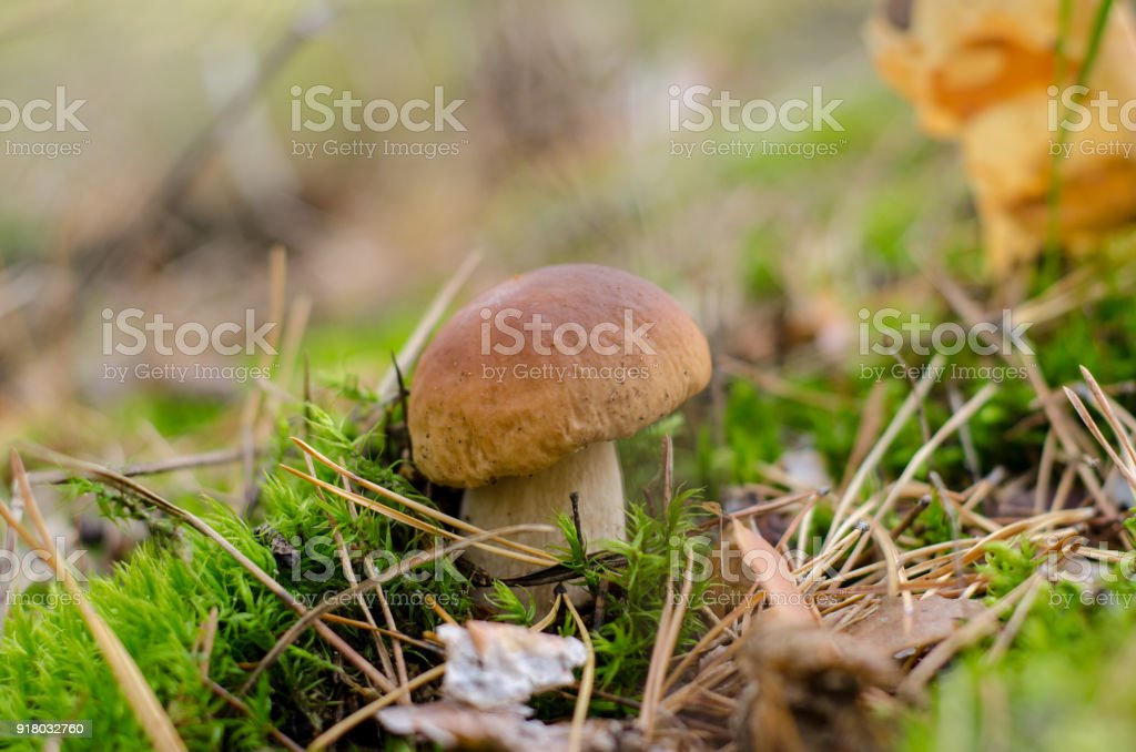 Edible mushroom stock photo