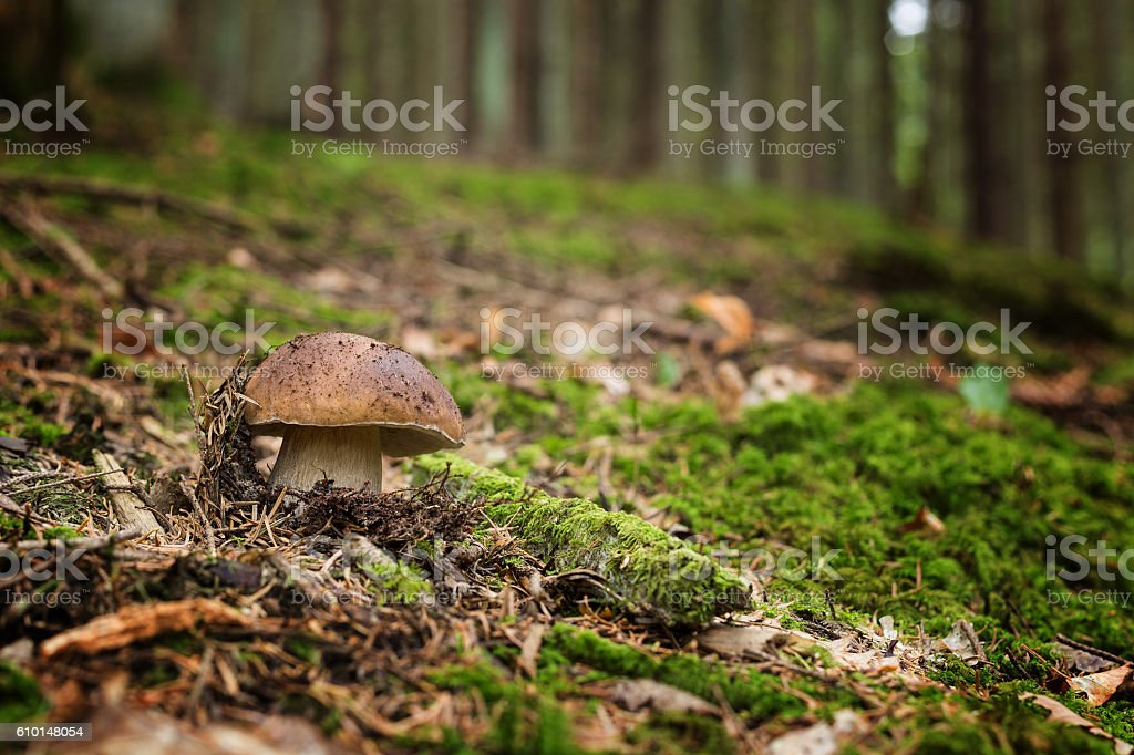 Edible mushrooms -  boletus edulis stock photo