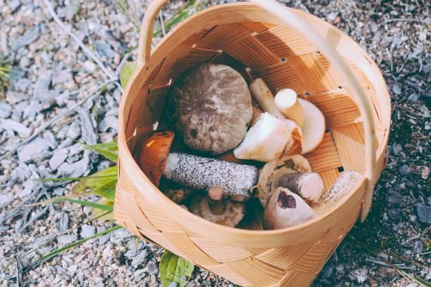 ätliga svampar i korgen i finland - höst plocka svamp bildbanksfoton och bilder
