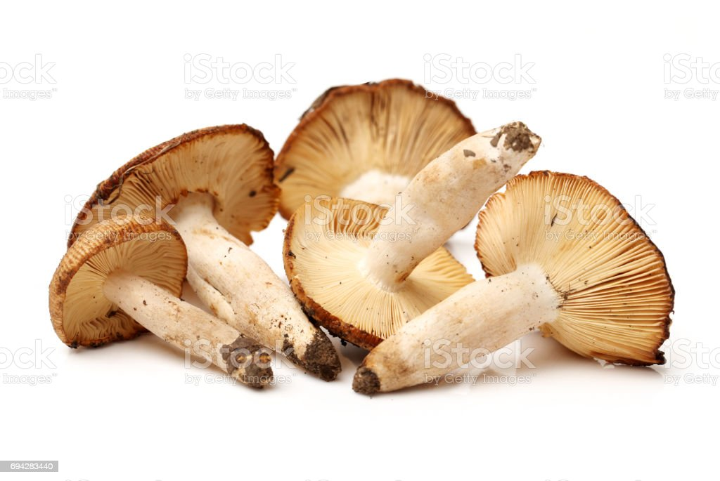 edible mushrooms isolated on white background stock photo