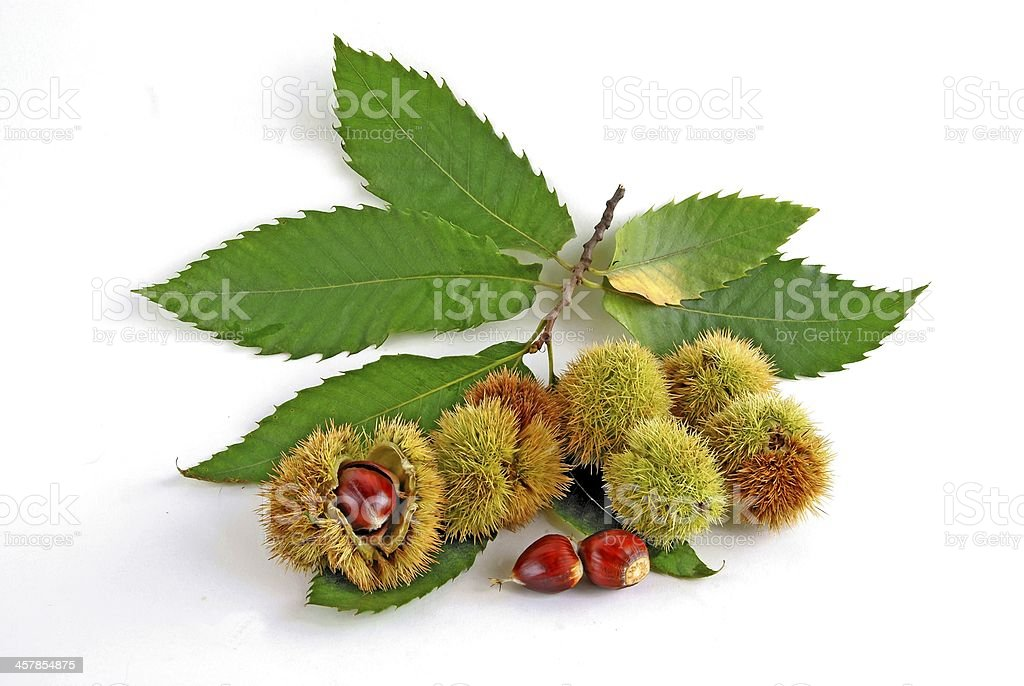 Sweet Chestnut Tree Pictures Images and Stock Photos iStock