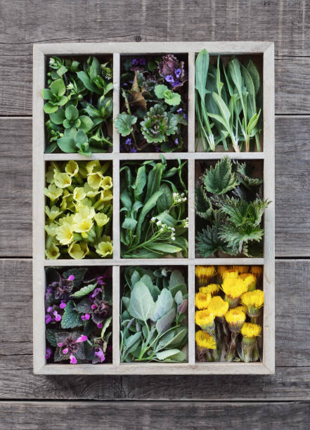 Edible plants and flowers in a wooden box with cells Edible plants and flowers in a wooden box with cells. Medicinal herbs and wild edible plants growing in early spring shepherd's purse stock pictures, royalty-free photos & images