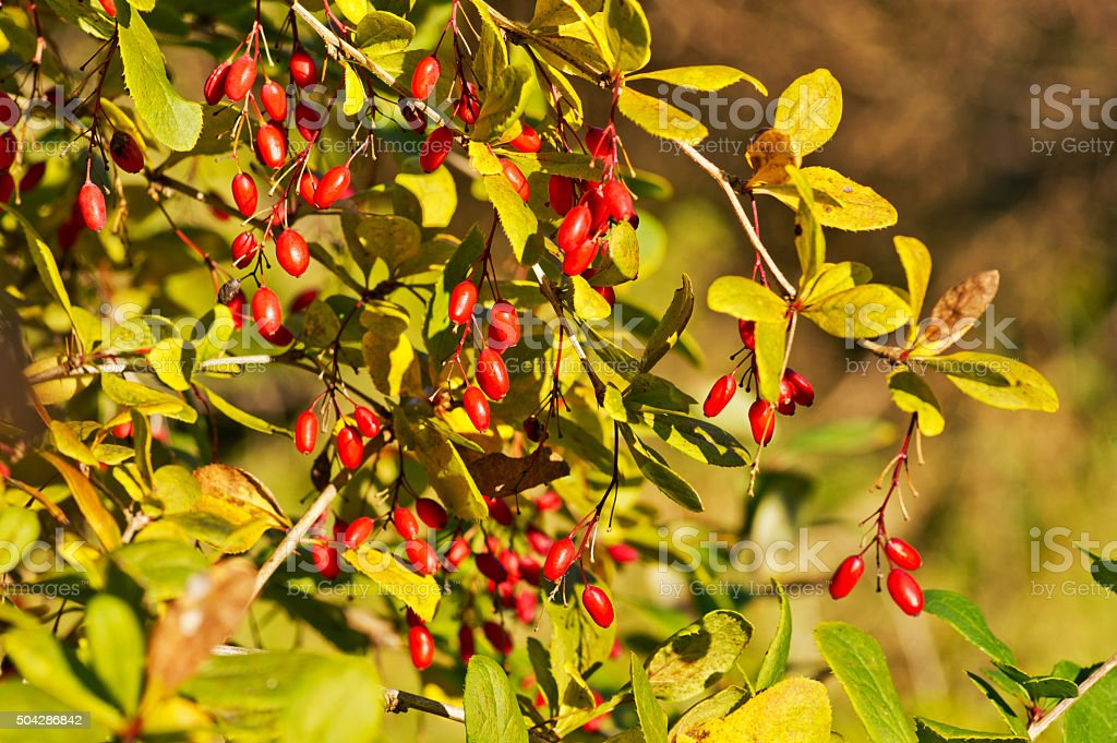 Edible red berries branch. European barberry, simply Barberry, Berberis vulgaris stock photo