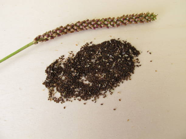 Edible seeds of greater plantain, plantago major stock photo