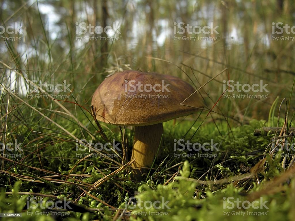 Edible single mushroom in forest royalty-free stock photo