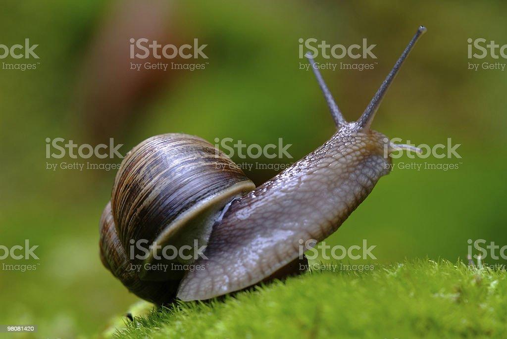 (Helix pomatia) edible snail macro royalty-free stock photo