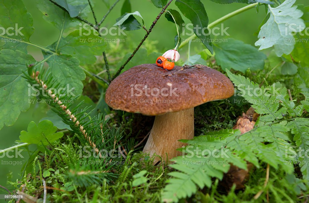 Edible White mushroom royalty-free stock photo