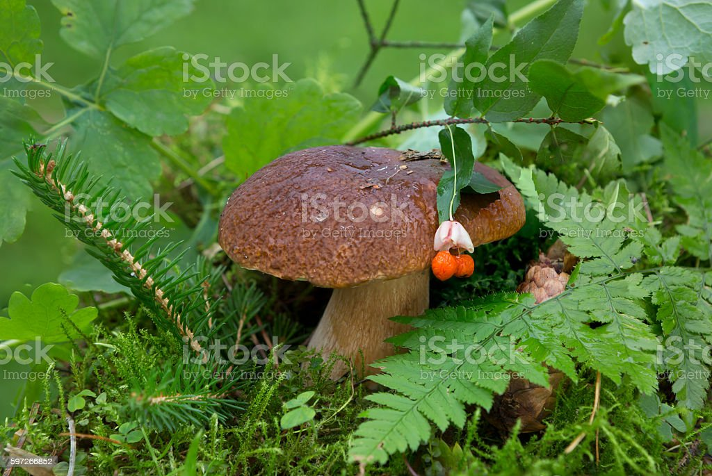Edible White mushroom photo libre de droits