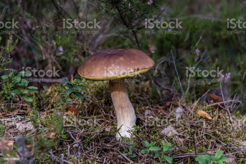 Edible Wild Mushroom in a Forest in Moss - foto stock