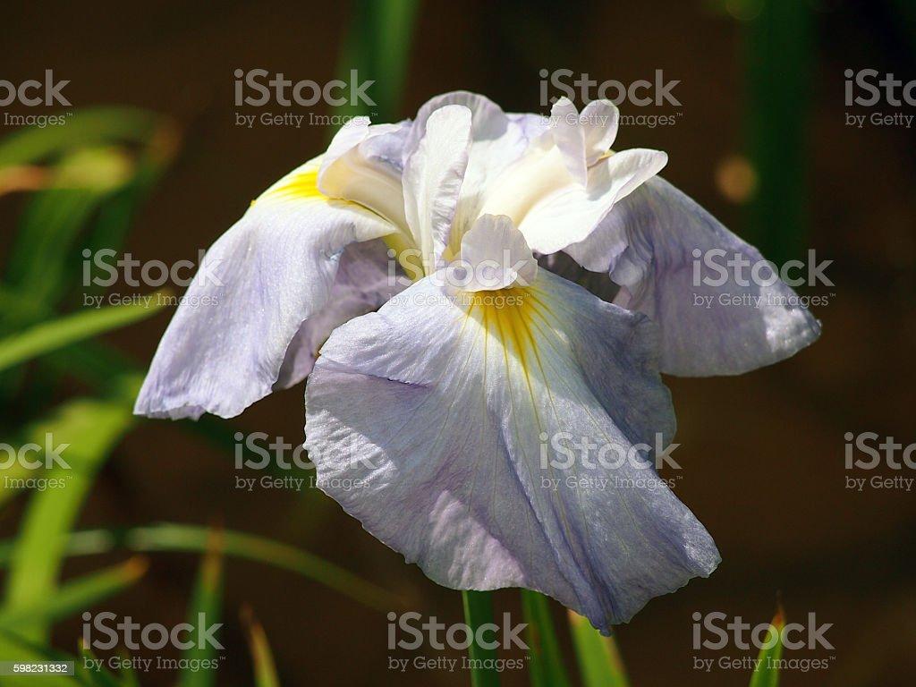 Edo to which it is said Seishonagon iris foto royalty-free