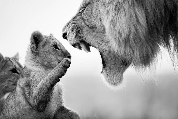 Educating the future lion king! Angry lion roaring at his two cubs in nature. Black and white photography. lion cub stock pictures, royalty-free photos & images