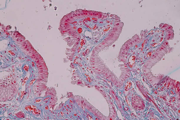 Education anatomy and Histological sample Simple columnar epithelium Tissue under the microscope. stock photo