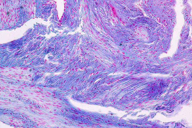 Education anatomy and Histological sample Spinal cord Tissue under the microscope. stock photo