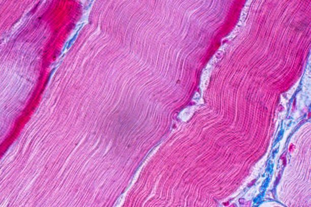 Education anatomy and Histological sample Striated (Skeletal) muscle of mammal Tissue under the microscope. stock photo