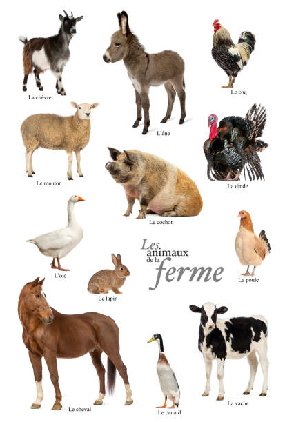 Educational poster with farm animal in french picture id1034908152?b=1&k=6&m=1034908152&s=612x612&w=0&h=74hbb9lunlaam5x3qkblwvt3ytlfaarol 07r6t0cks=