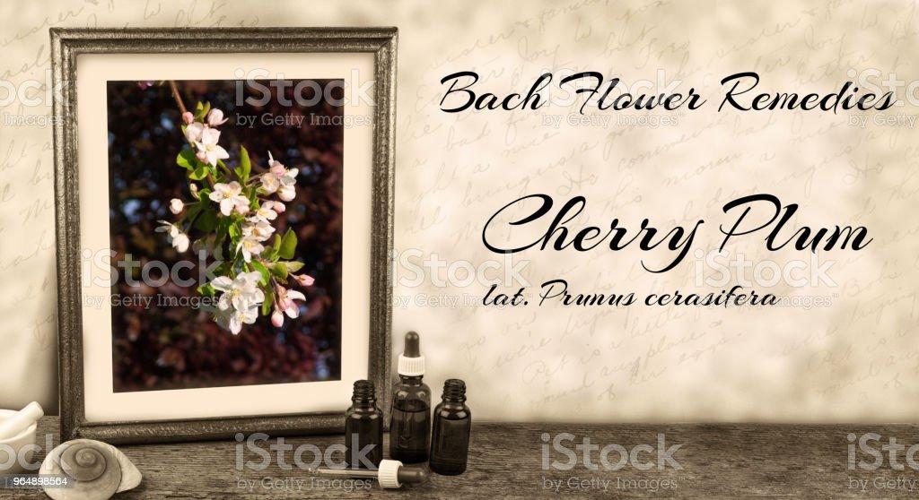 Edward Bach - Bach Flower Remedies - Cherry Plum, prunus cerasifera royalty-free stock photo