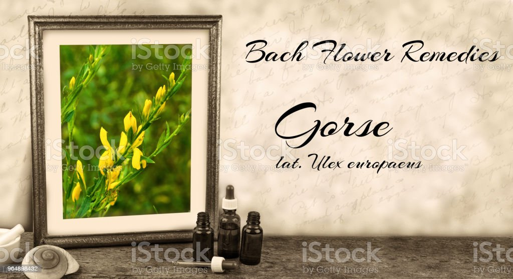 Edward Bach - Bach Flower Remedies - Gorse, ulex europaeus royalty-free stock photo
