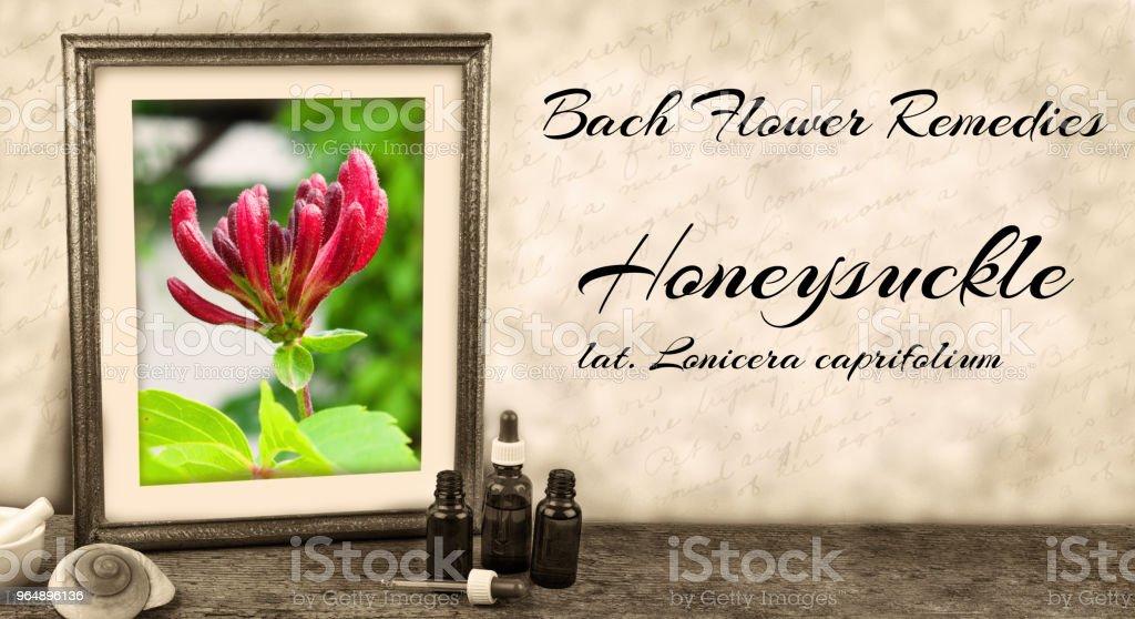 Edward Bach - Bach Flower Remedies - Honeysuckle, lonicera caprifolium royalty-free stock photo