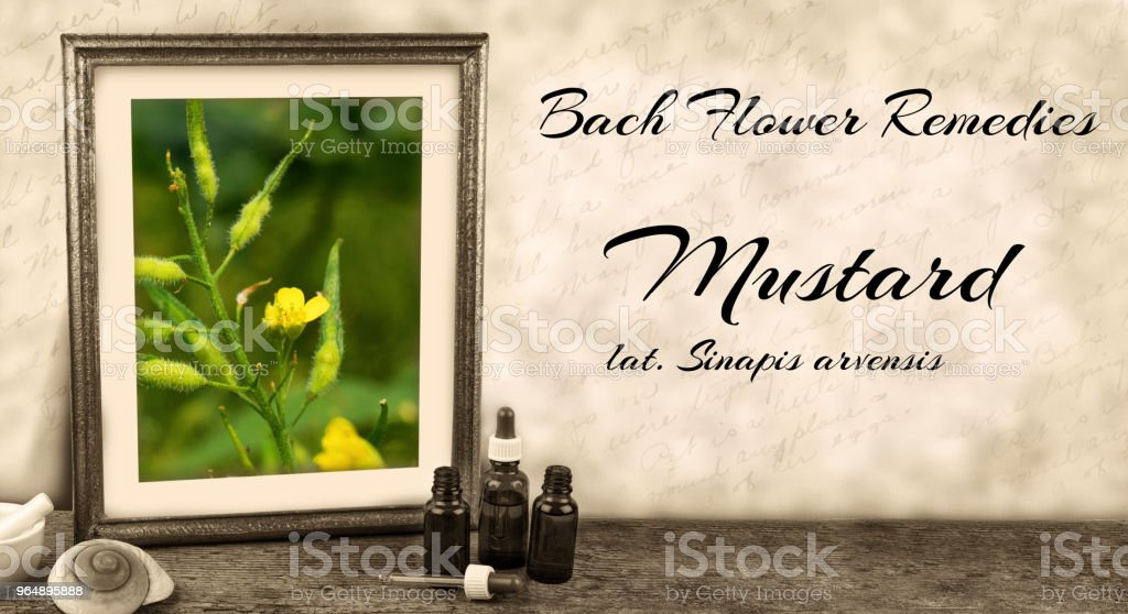 Edward Bach - Bach Flower Remedies - Mustard, sinapis arvensis royalty-free stock photo
