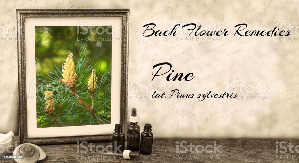 Edward Bach - Bach Flower Remedies - Pine, pinus sylvestris royalty-free stock photo