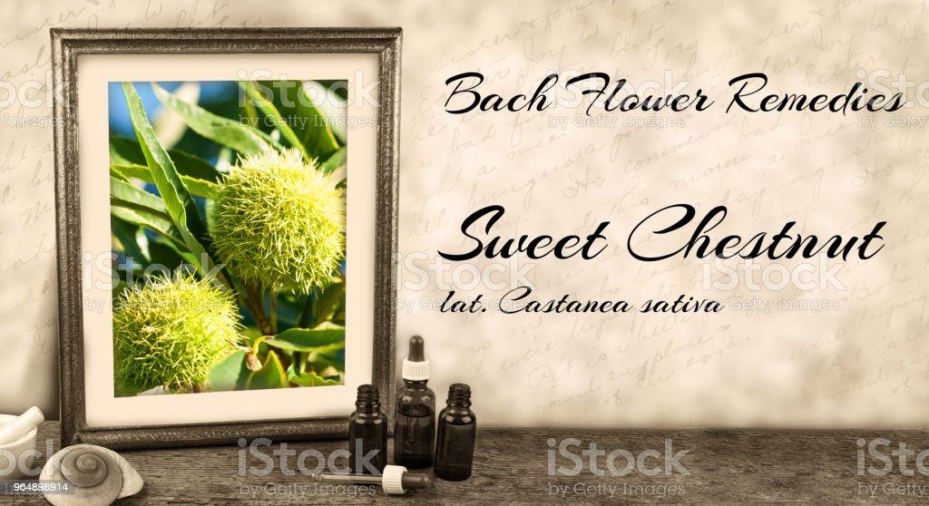 Edward Bach - Bach Flower Remedies - Sweet Chestnut, castanea sativa royalty-free stock photo