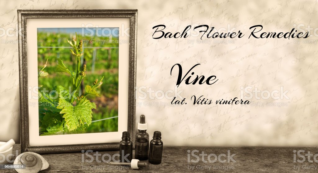 Edward Bach - Bach Flower Remedies - Vine, Vitis vinifera royalty-free stock photo