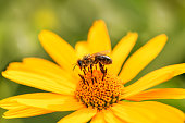 ee and flower. Close up of a large striped bee collecting pollen on a yellow flower on a Sunny bright day. Macro horizontal photography. Summer and spring backgrounds