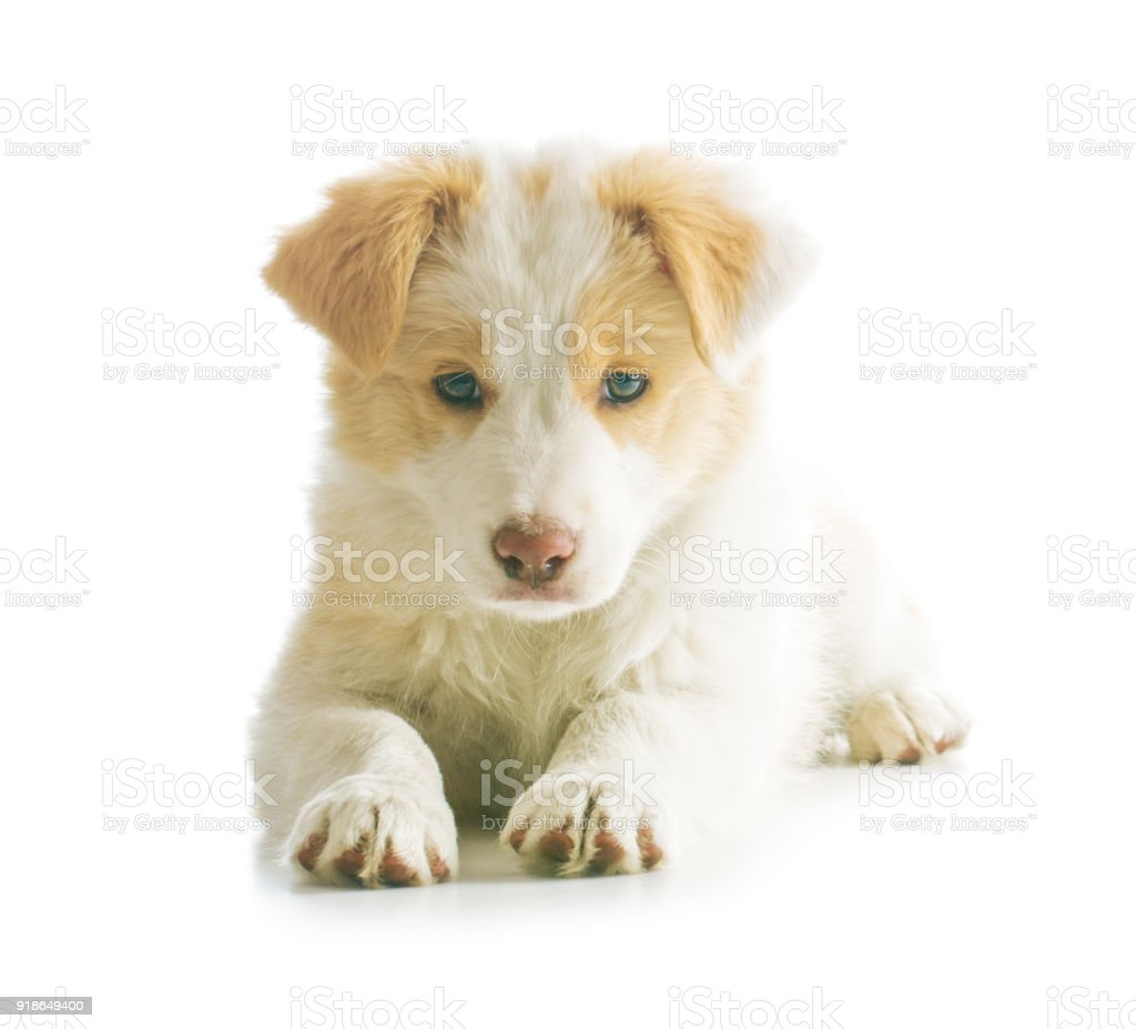 Ee Red Border Collie Puppy Stock Photo Download Image Now Istock