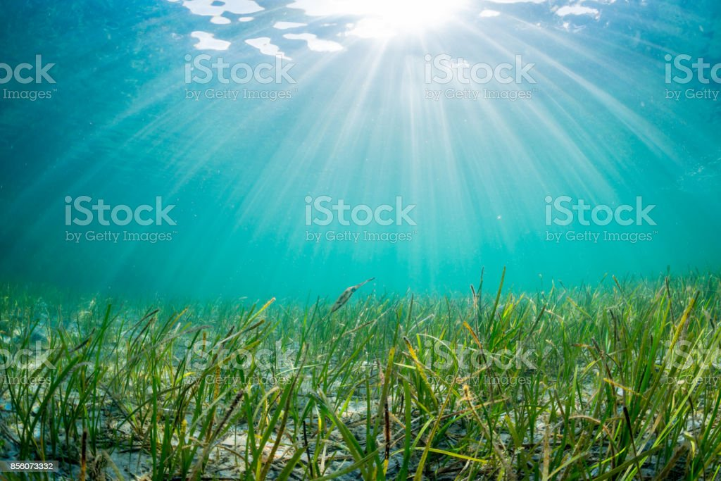 Eelgrass Bed stock photo