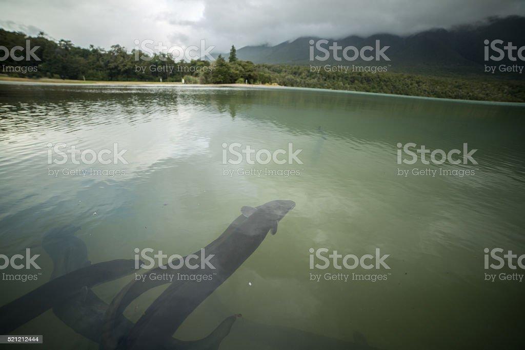 Anguille du Lac Rotoiti, paysage de montagne en arrière-plan - Photo