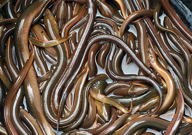 eels - Photo
