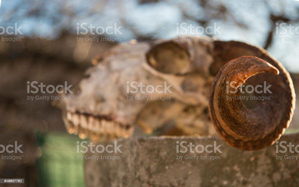 Eerie light shining through a sheep skull stock photo
