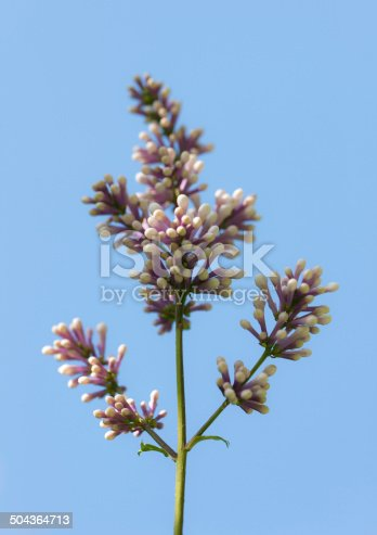 branch of blooming lilacs against the sky
