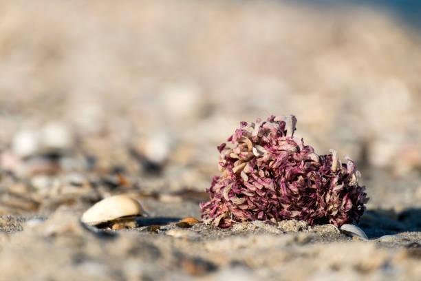 Egg capsules of veined rapa whelk on the seashore (Rapana venosa) stock photo