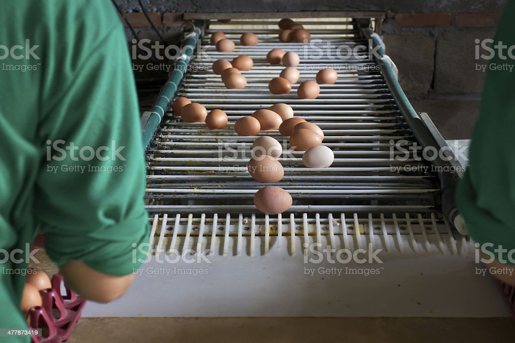 Egg chicken industrial  ,packaging lines in farm stock photo