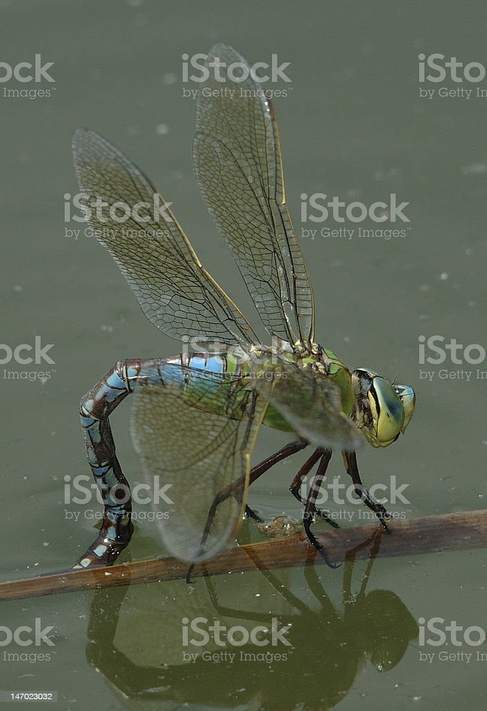 Egg deposition of a female emperor dragonfly (Anax imperator) stock photo