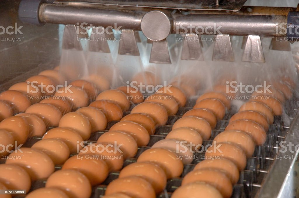 Egg factory on washing production line with fresh eggs are prepare for package in Automate Food Processing Plant. stock photo