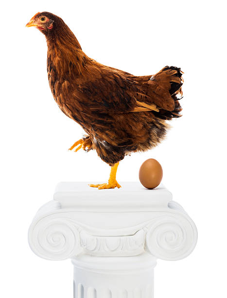 Best Chicken Laying Egg Stock Photos, Pictures & Royalty-Free Images - iStock
