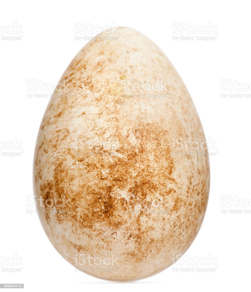 Egg of Atlantic Puffin or Common Puffin with height, Fratercula arctica, in front of white background stock photo