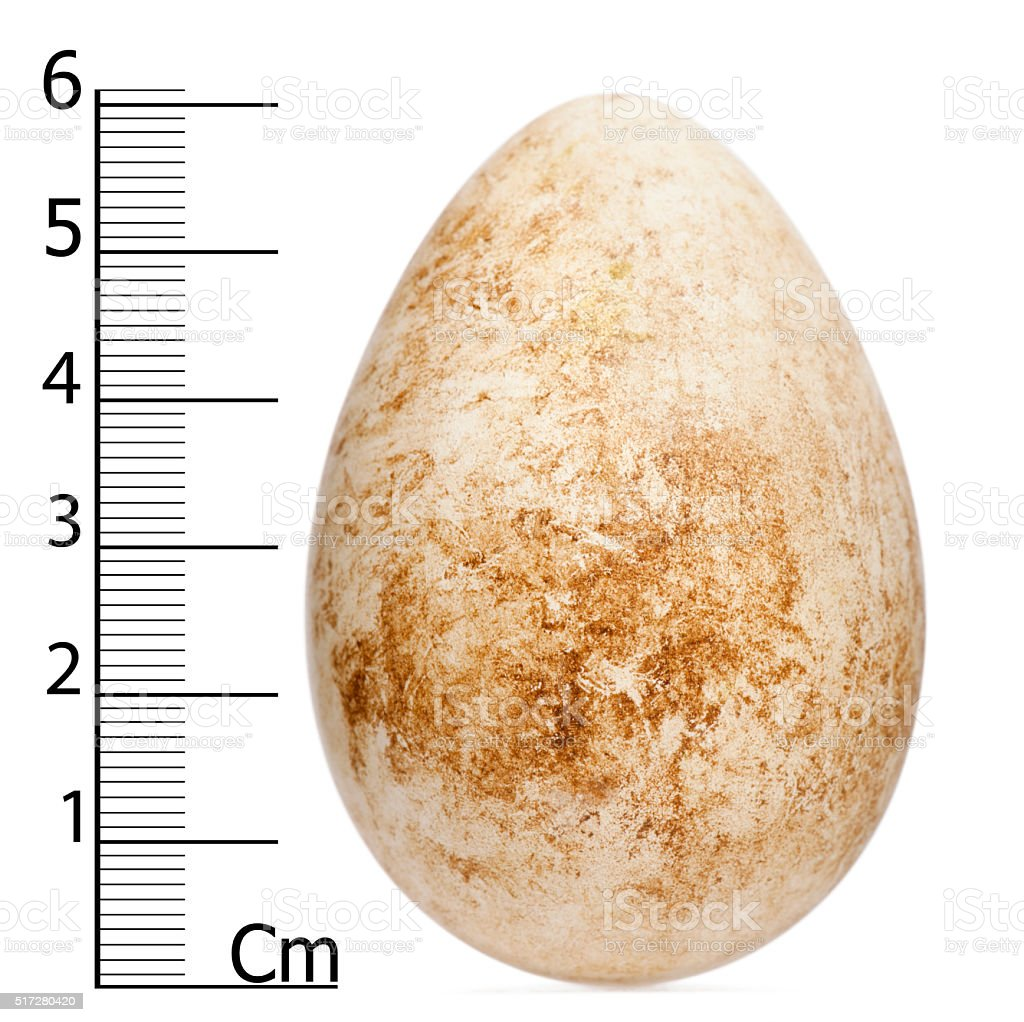 Egg of Atlantic Puffin or Common Puffin with height stock photo
