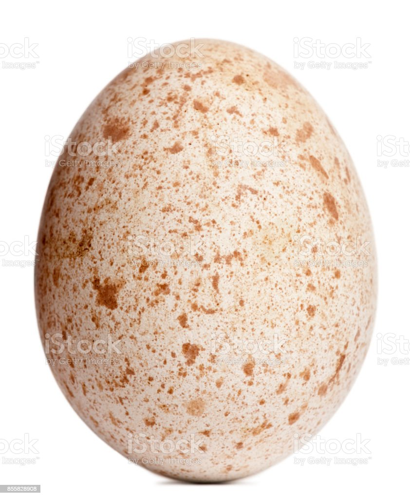 Egg of Egyptian Vulture, Neophron percnopterus, in front of white background stock photo