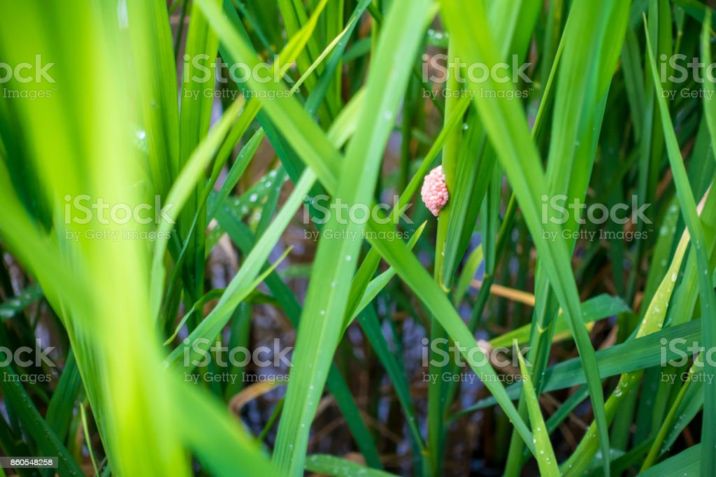 egg of golden applesnail (Pomacea canaliculata) in rice field stock photo