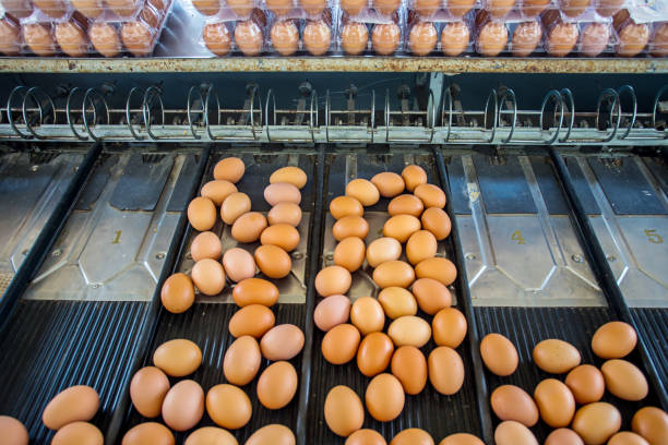 Egg on size sorting by farmer. stock photo