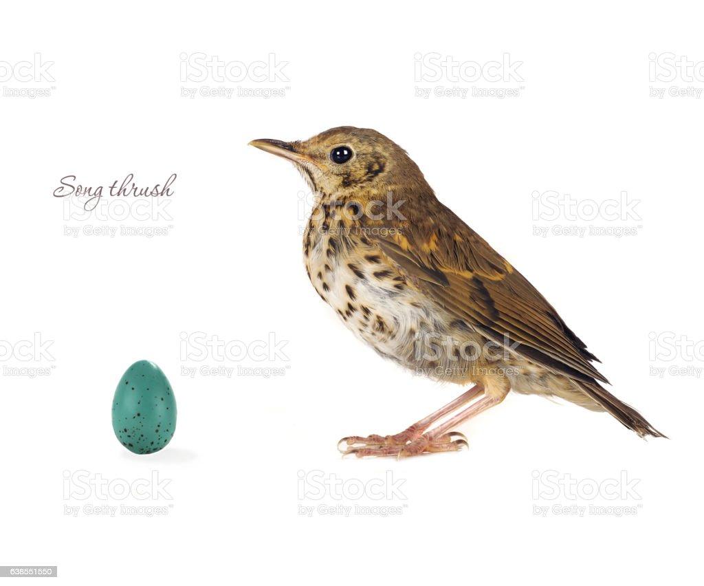 egg song thrush stock photo