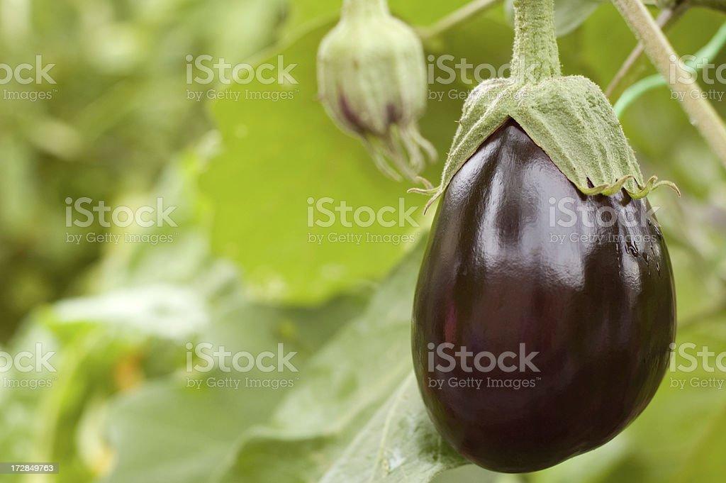 Egglpant stock photo