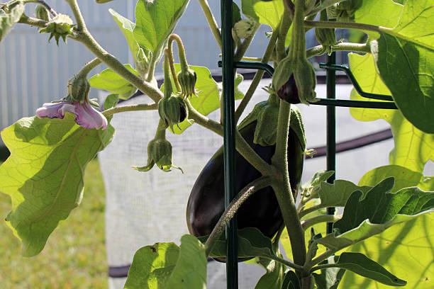 aubergine croissance - black beauty photos et images de collection
