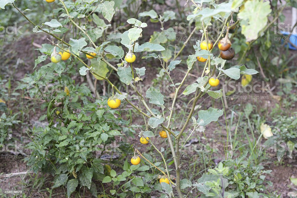 Eggplant in farmland royalty-free stock photo