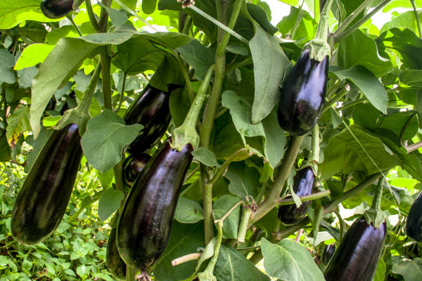 eggplant in the garden. fresh organic eggplant aubergine. purple aubergine growing in the soil. - melanzane foto e immagini stock