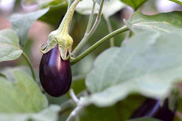 melanzana in giardino - melanzane foto e immagini stock