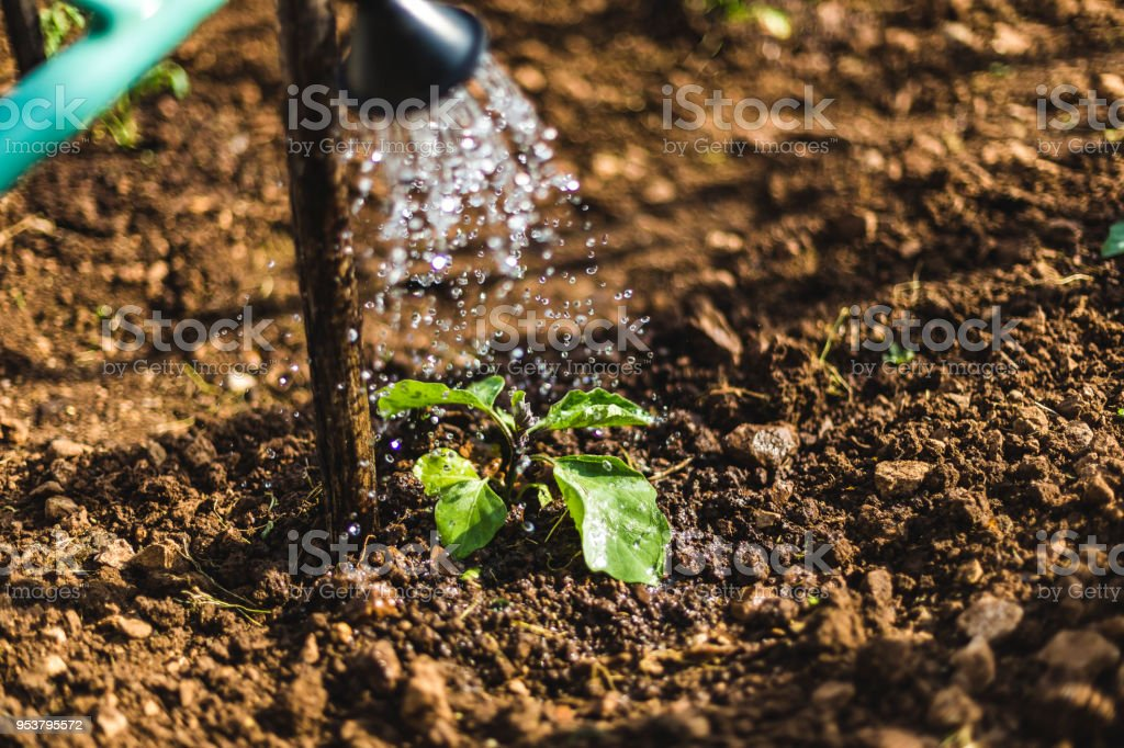 Eggplant seedling watered from a watering can stock photo